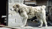 дворняжка : Large chained dog Стоковые видеозаписи