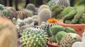 кактусы : A female hand picking cactus from shelf in cactus garden, Thailand
