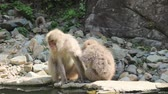yaenkoen : Wild Japanese macaques which does grooming