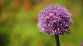 spring onion : Giant Onion (Allium giganteum). Bright flower on green natural background. Sunny summer morning in garden.