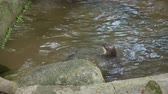 wild : The Eurasian otter (Lutra lutra) in pond. Singapore. Stock Footage