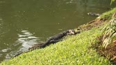 doze : Monitor lizard basks in the sun in the grass Lumpini Park. Bangkok, Thailand.