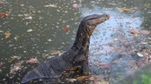 doze : Monitor lizard sits in water of pond in Lumpini Park. Bangkok, Thailand. Vídeos