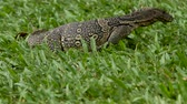 ocultação : Monitor lizard crawling on the grass in Lumpini Park. Bangkok, Thailand.