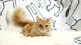 doze : Cute ginger cat lying in bed. Fluffy pet on cozy home background.
