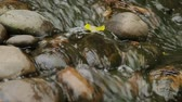 kamie�� : Water flowing over the stones. Close up video with yellow leaf in stream.