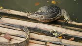 lumpini : Two monitor lizards lying on a bamboo jetty over the water. Lumpini park, Bangkok, Thailand.