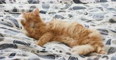 satisfação : Cute ginger cat lying in bed. Fluffy pet is licking its paws and going to sleep. Cozy home background.
