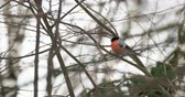 male animal : Male bullfinch sitting on the branch under the snow. Bright birds in winter forest.