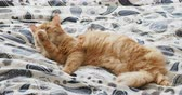 домашнее животное : Cute ginger cat lying in bed. Fluffy pet is licking its paws and going to sleep. Cozy home background.