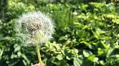 ręka : Dandelion (Taraxacum) seeds - pappus - flying away with the wind.