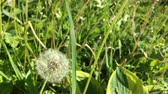 белый : Dandelion (Taraxacum) seeds - pappus - flying away with the wind.