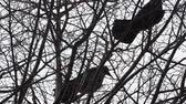 havran : Pair of big black ravens sitting on tree, then flying away.