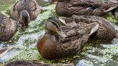 утка : Flock of brown colored ducks swimming in pond. Birds are looking for food in the water overgrown with duckweed. Стоковые видеозаписи