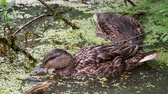 watches : Pair of brown colored ducks swimming in pond. Birds are looking for food in the water overgrown with duckweed. Stock Footage