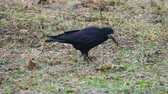 vrána : Big black raven is searching for food