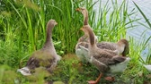 pastvisko : Flock of geese and small fluffy gosling are searching for food in green grass. Poultry grazing near the pond.