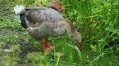 pastvisko : Goose is searching for food in green grass. Poultry grazing near the pond. Dostupné videozáznamy