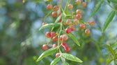 kırmızı biber : Pink peppercorn (baie rose, pink berry). Schinus molle or Peruvian peppertree.
