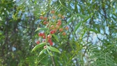 перчинка : Pink peppercorn baie rose, pink berry . Schinus molle or Peruvian peppertree.