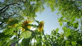 claro : Field of bright yellow ripe sunflowers. Rural scene in sunny day. Stock Footage