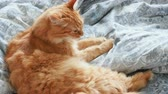 doze : Cute ginger cat lying in bed. Fluffy pet is licking its paws and going to sleep. Cozy home background.