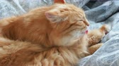 gatinho : Cute ginger cat lying in bed. Fluffy pet is licking its paws and going to sleep. Cozy home background.