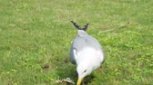 alimentos : Seagull eat leftovers. Bird quickly swallows something edable.