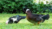 kaczka : Big farm ducks clean its feathers and search in grass for food