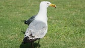 seagull : Seagull eat leftovers. Bird quickly swallows something edable.