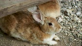 lebre : Pair of brown fluffy rabbits sitting on ground. Vídeos