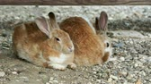 hare : Pair of brown fluffy rabbits sitting on ground. Stock Footage