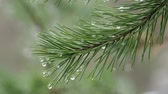 cam : Natural background with pine tree branches. Raindrops on pine needles. Stok Video