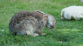zając : Fluffy rabbit sitting on the green grass and licking its fur Wideo