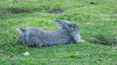 zając : Grey fuffy rabbit is lying on lawn.