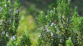 perennial : Blooming Rosmarínus officinális or rosemary. Natural background with blossoming perennial herb.