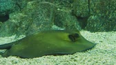 tank : Batoidea. Cartilaginous fish commonly known as rays. Stock Footage