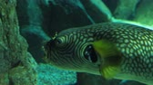 cysterna : Arothron fish floats in aquarium.