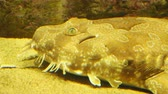 cysterna : Spotted wobbegong, Orectolobus maculatus or carpet shark.