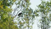 eagle : Big bird in the genus Falco sitting on tree branch and cleaning its feathers. Kenozerskiy national park, Russia. Stock Footage