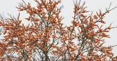 cold winter : Frozen branches of sea buckthorn with berries. Winter snowy day. Russia.