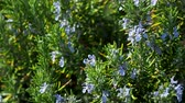 rozmarýna : Blooming Rosmar nus officin lis or rosemary. Natural background with blossoming perennial herb.