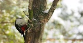 winter tree : Great spotted woodpecker, Dendrocopos major, knocks on the bark of a tree, extracting edable insects. Bird in winter forest. Stock Footage