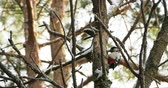 экстракт : Great spotted woodpecker, Dendrocopos major, knocks on the bark of a tree, extracting edable insects. Bird in winter forest. Стоковые видеозаписи