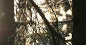 ramos : Natural background with fir tree branches under snowfall. Sunny day in winter forest.