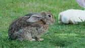 lebre : Fluffy rabbit sitting on the green grass and licking its fur Vídeos