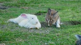 hare : Pair of fuffy rabbits lying on lawn. Hare is eating green grass