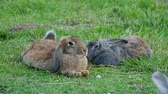 lebre : Pair of fuffy rabbits lying on lawn.