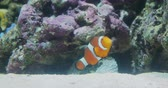 flutuador : Amphiprion or Clown fish floats among corals. Vídeos