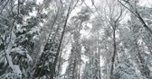 cam : Snowfall in pine tree forest. Winter background in cloudy day.